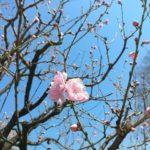 2019年4月 新年度寒波はいつから?どこで桜と雪が同時に見られる?